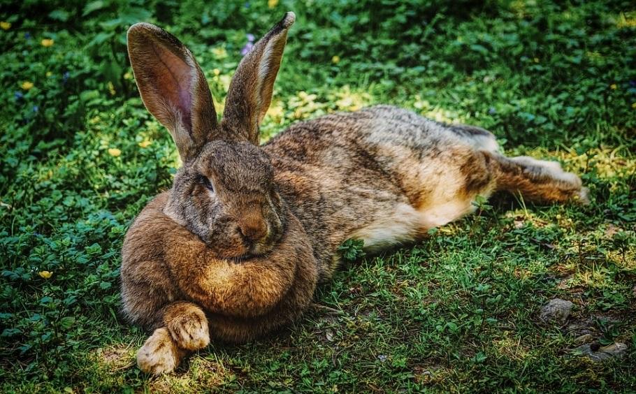 Почемучка: чем отличаются зайцы и кролики?