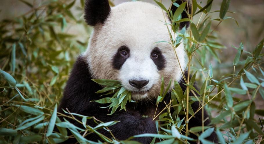 Китайские и российские панды общаются через чат