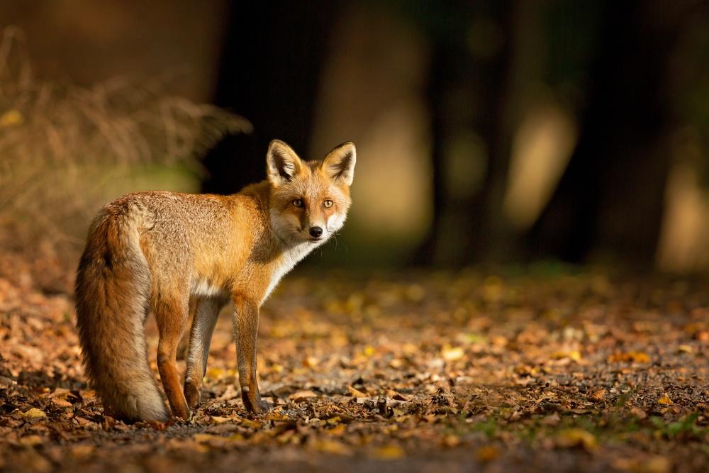 Про животных: лиса